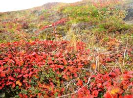 Ground vegetation on the Barrenlands near Daring Lake, NWT  (Photo:  Susan Beaumont, WRRB)
