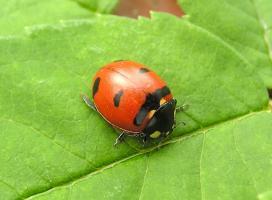 Transverse Lady Beetle  (Photo:  Henri Goulet)
