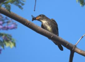 Olive-sided Flycatcher in its wintering habitat.  Photo:  Mike's Birds, Attribution 2.0 Generic (CC BY 2.0)