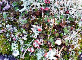 Soldier lichen, Reindeer lichen, and moss on forest floor (Photo:  Susan Beaumont, WRRB)