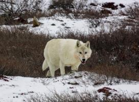 Tundra Wolf. Photo credit: Catherine Graydon, 2016.
