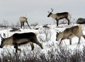 Bathurst caribou calf following cow (Photo:  GNWT / A.Gunn, ENR)