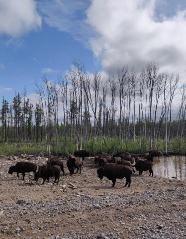 Bison on the side of the road. Photo Credit: Laura Meinert.