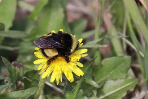 Yellow-banded kw'ıahnǫ (Bumblebee). Photo Credit: 'Photo 40565289', Catherine Graydon, Source: https://www.inaturalist.org/photos/40565289, some rights reserved (CC BY-NC).