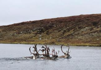 Small group of Caribou swimming across the Kǫk'èetı̀ (Contwoyto Lake). Photo credit: Aimee Guide, WRRB, 2020.