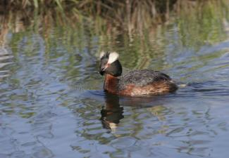 Horned Grebe; Provided by ECCC