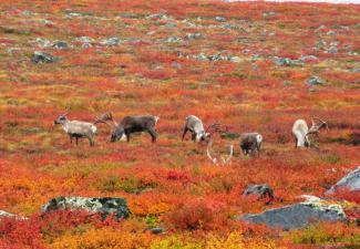 Bathurst caribou on the Barrenland.  Photo:  Catherine Graydon