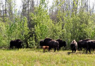 Mackenzie Wood bison  (Photo:  Susan Beaumont, WRRB)