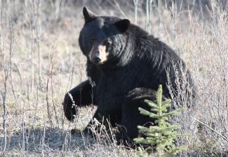 Black bear (Photo: GNWT / K.Cox, ENR)