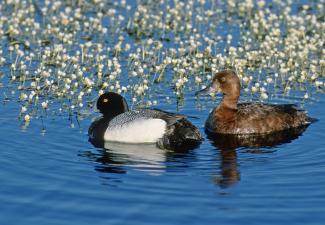 """Lesser Scaup Pair.  Traditionally, lesser scaup (also known as """"blue bills"""") have been one of the most abundant ducks in North America; however, their populations have been spiralling downwards in recent years. (Photo Courtesy of ©Ducks Unlimited Canada / Brian Wolitski))"""