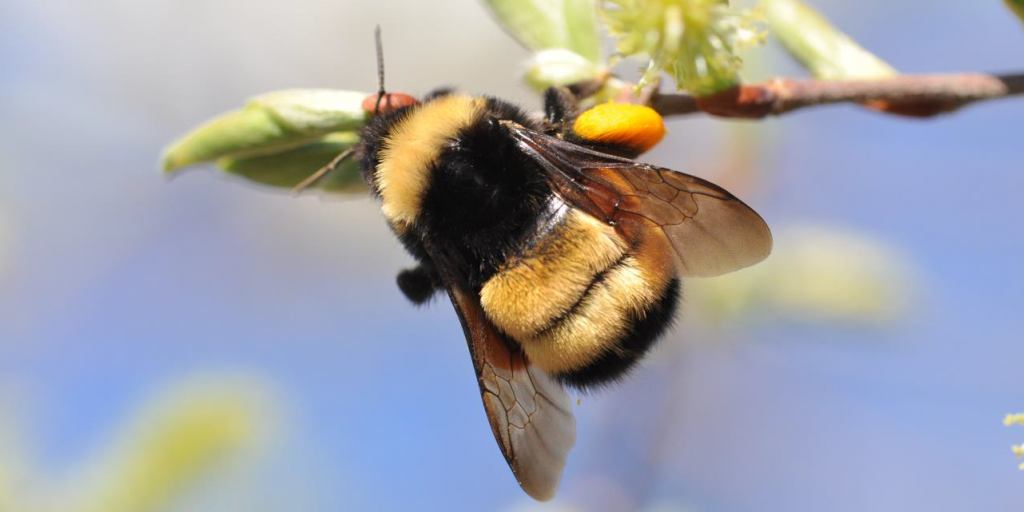 Queen Yellow-banded kw'ıahnǫ (Bumblebee) on willow, Ontario. Photo credit: Sarah Johnson. Used with permission