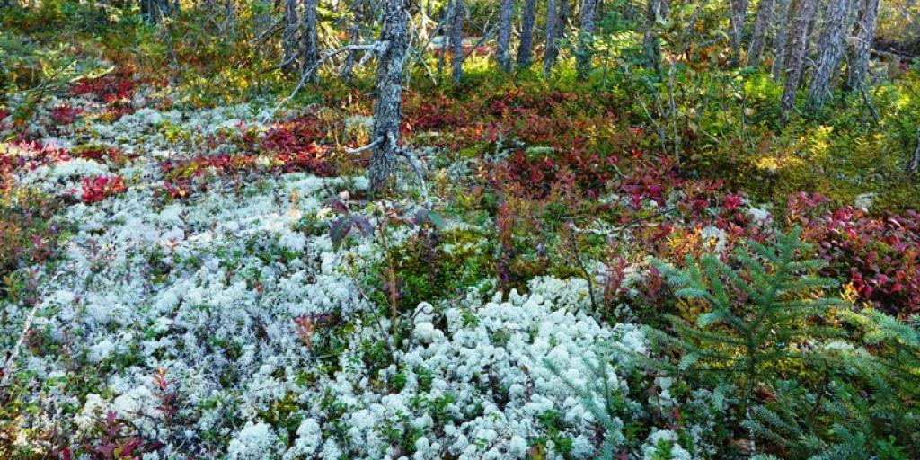 Spruce-lichen forest (Photo:  Susan Beaumont, WRRB)