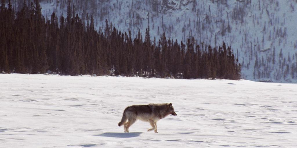 Tundra Wolf - Photo Credit: Anne Gunn, ENR