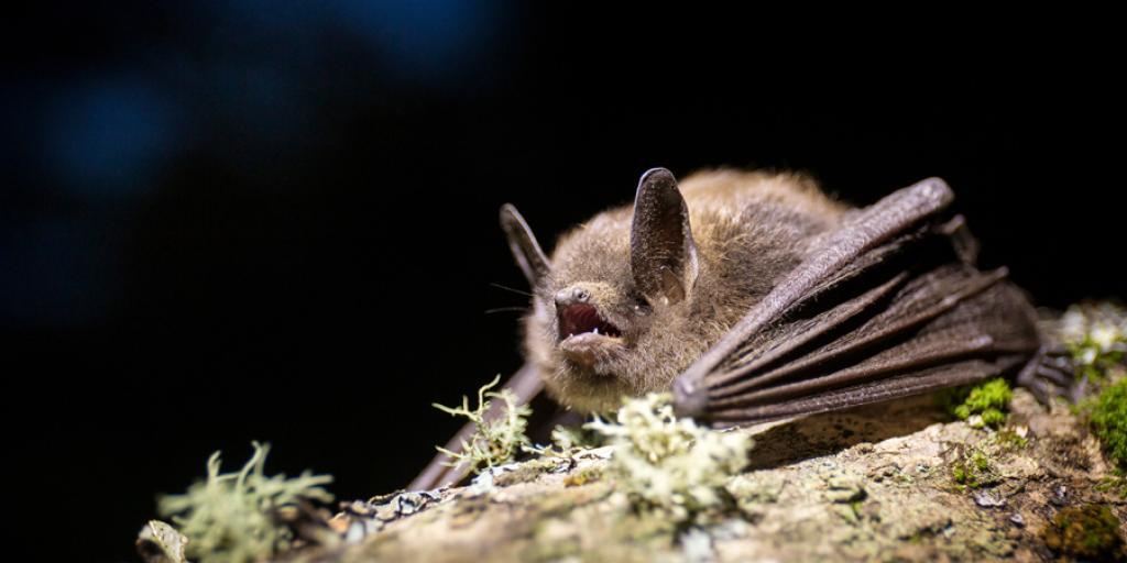 Little Brown Myotis (dłı̨ą k'et'à) resting on a branch. Photo credit: Jason Headley, https://www.inaturalist.org/observations/8624831, 2017.