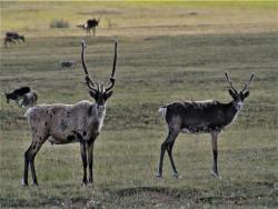 Bluenose-East caribou (Photo:  GNWT / B.Tracz, ENR)