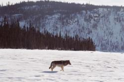 Tundra Wolf - Photo Credit: Anne Gunn, ENR
