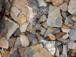 One of the Wolf Spider Species not identified  Photo credit: S. Carriere, https://inaturalist.ca/observations/19936218